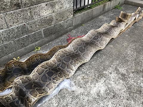 三線 アミメニシキヘビ